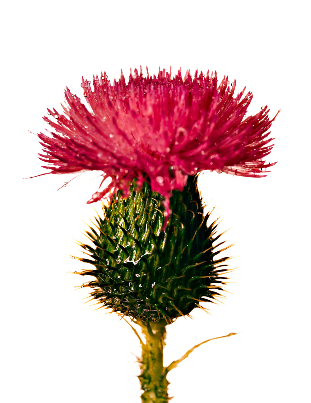 Bull Thistle , New York, ca. 1973 Inkjet print © The Irving Penn Foundation