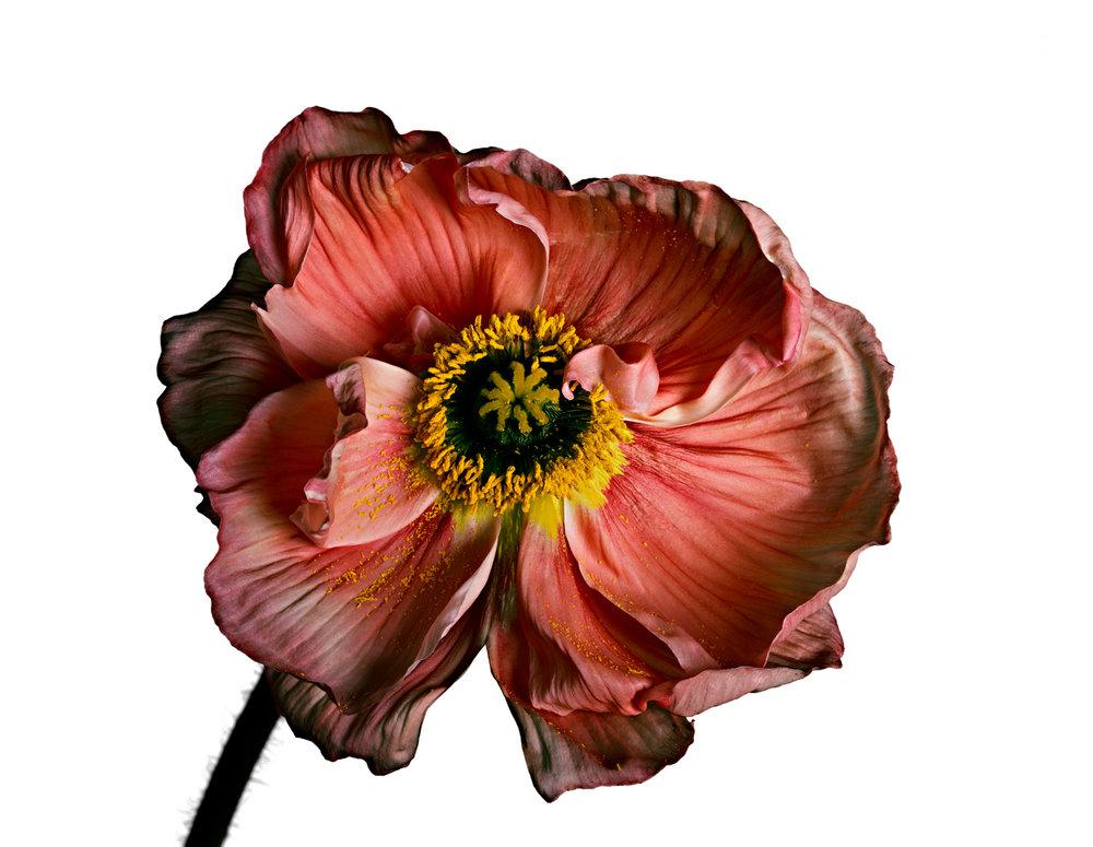 Iceland Poppy (A) , New York, 2006 Inkjet print © The Irving Penn Foundation