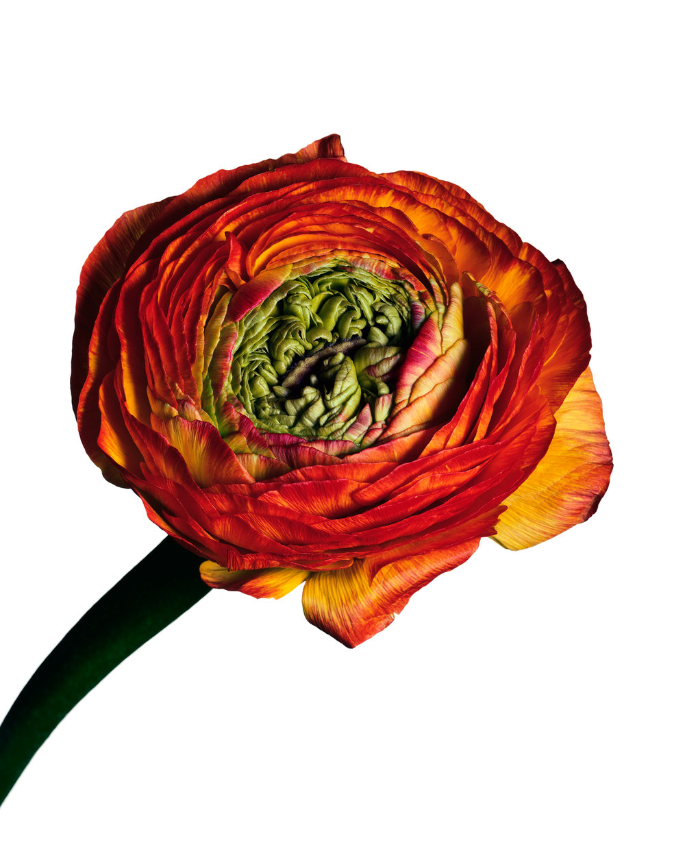 Ranunculus 'Picotee' , New York, 2006 Inkjet print © The Irving Penn Foundation