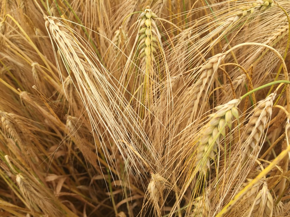 No-till: Opportunities & challenges for cereal and oilseed growers     HGCA / AHDB  Spring 2012   The objective of no-till is to reduce production costs while maintaining or increasing yields with possible added environmental benefits.