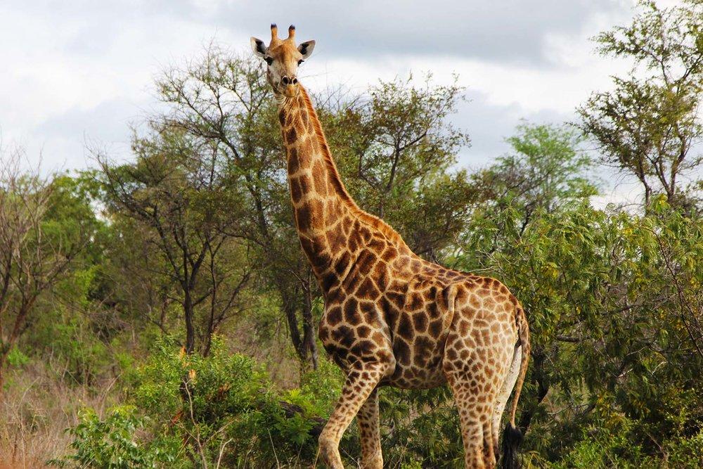 Giraffes at the Karongwe Game Reserve near Kruger
