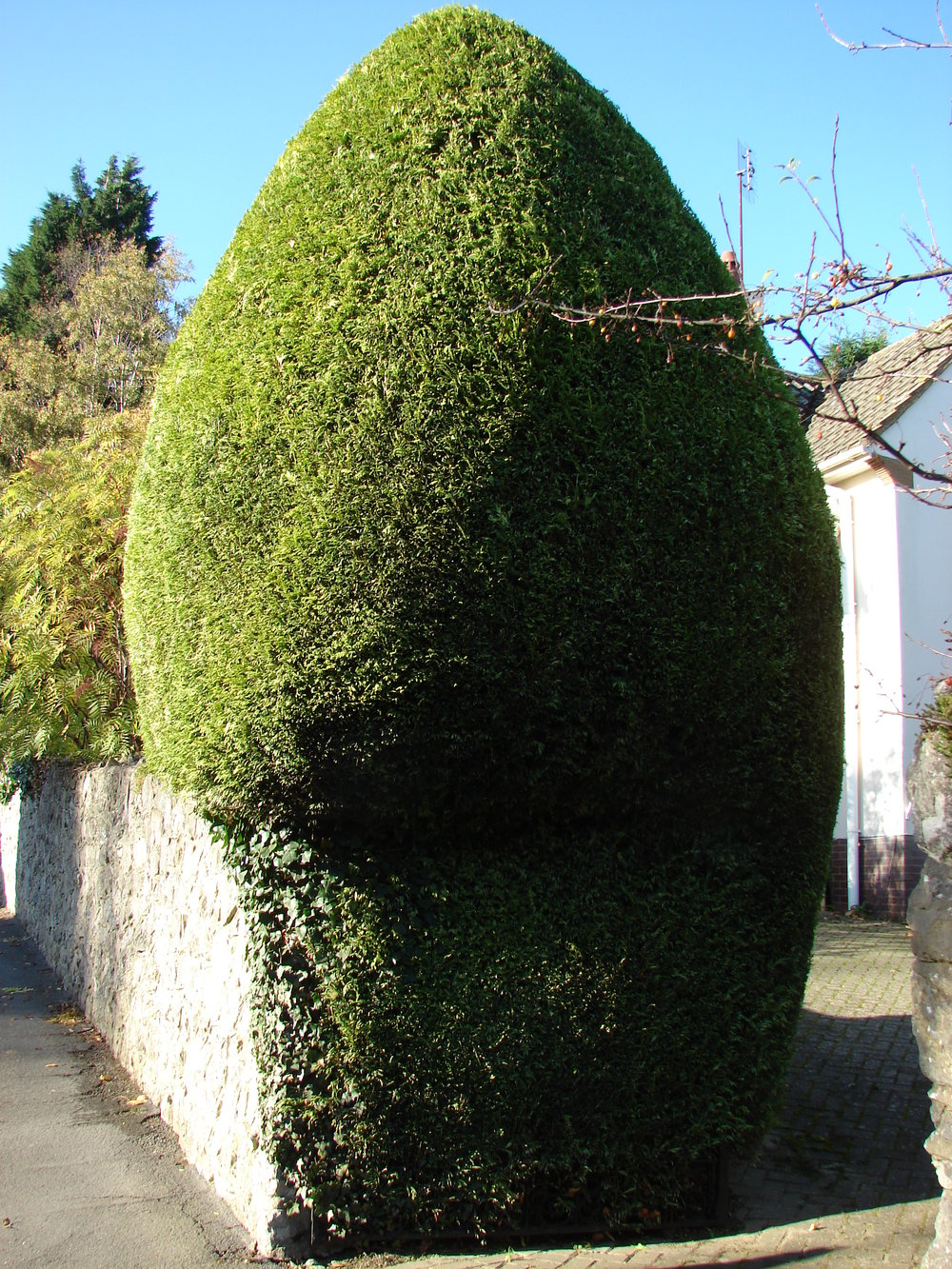 Hedge Trimming service Kent, London, Bromley & Sevenoaks