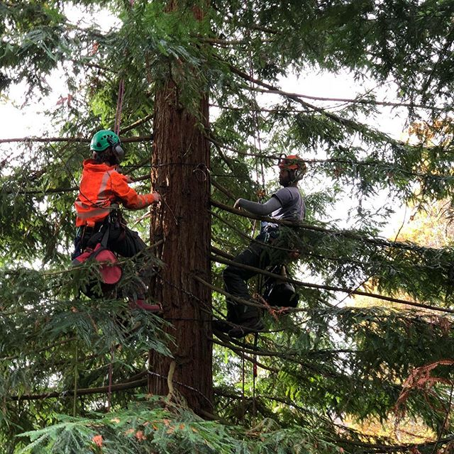 A couple of weeks ago, we left the chainsaws at the yard and needed only climbing kits and a few thousand metres of LED lighting cables, we were honoured to assist with rigging the Bedgebury Pinetum Christmas lighting! @lovebedgebury It was a pretty complex system to rig into the avenue of huge Coast redwood trees, as the cables not only carried lighting but also data to allow it to be choreographed to Christmas tunes!  It was well worth it as the effect is simply awesome, why not get the family in the Christmas mood and see our handy work for yourselves and enjoy the rest of the awesome one mile trail and loads of other festive fun!  It's beginning to feel a lot like Christmas! 🎄🎄🎄🎄