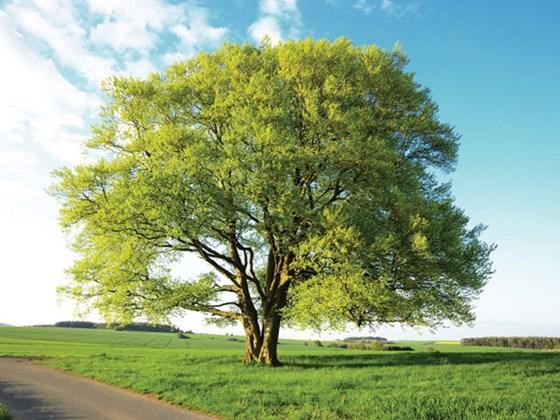 TreeID-beech01.jpg