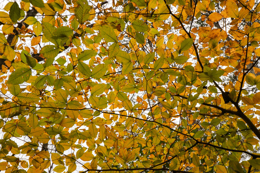 A stunning Yellow Birch during autumn.