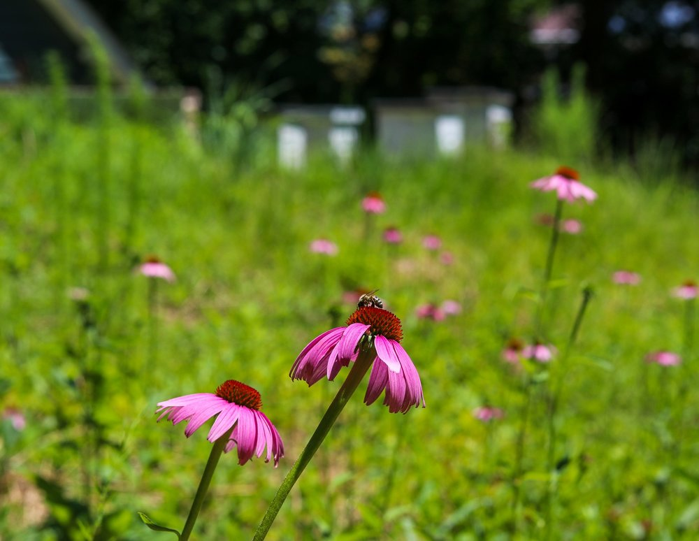 Purple Coneflower with a honeybee from the Land O Lakes hives.