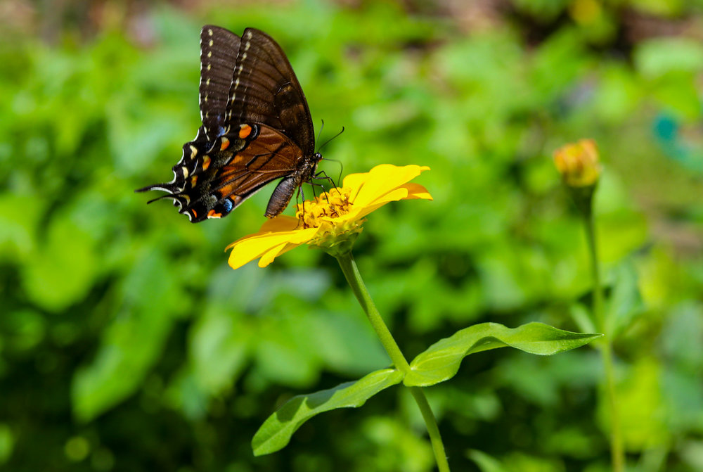 A Black Swallowtail enjoying some nectar in the summertime.