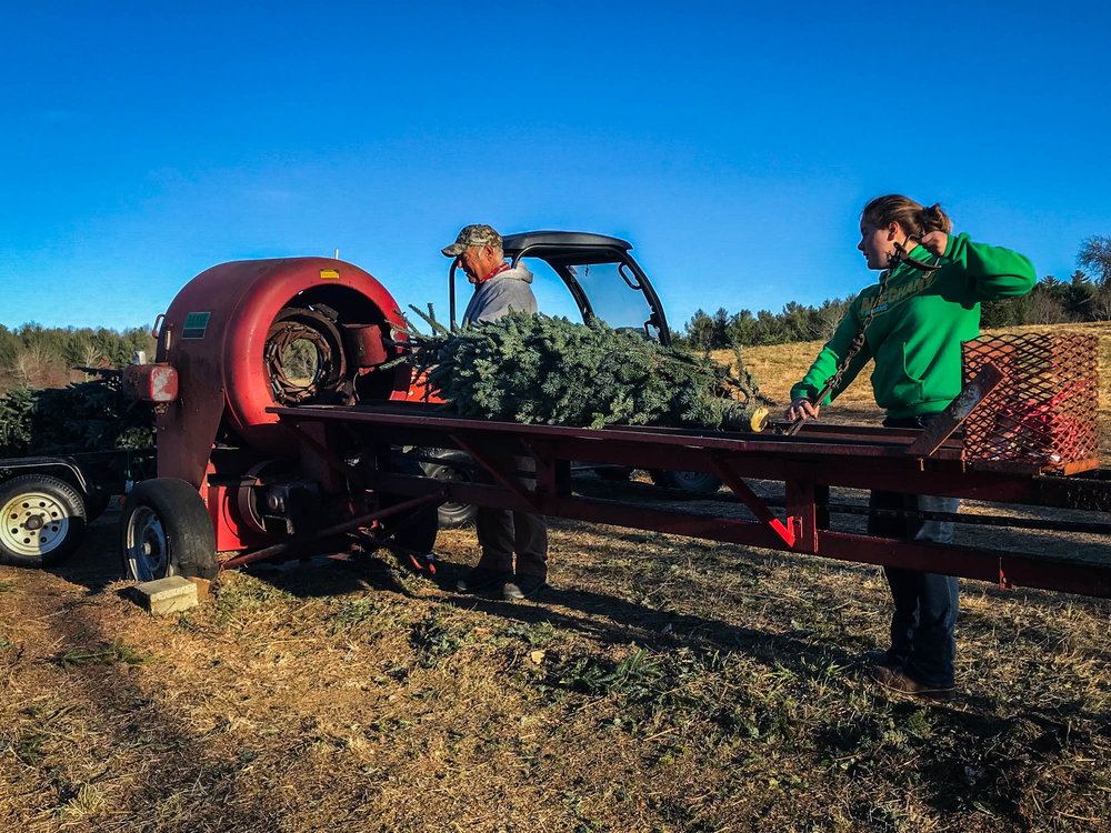 Bobby Maines and his granddaughter put a tree through the 'baler' for customers. These trees are some of the last they will be selling of the season, and are going to customers who have been coming to the Maines' for 15 years.