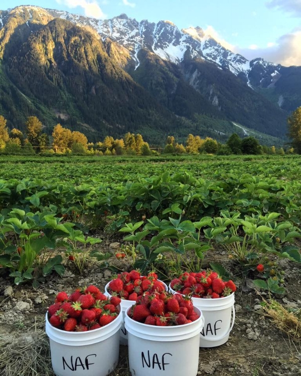 Buckets of StrawberriesNorth Arm Farm.jpg