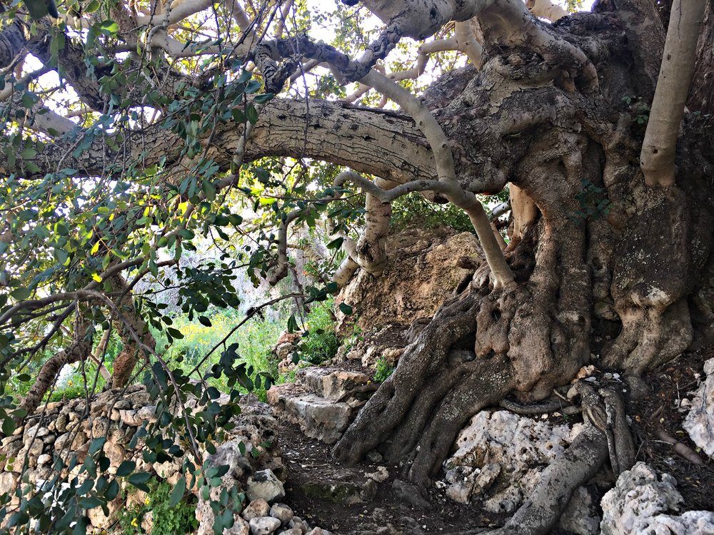 Thousand year old carob tree measuring 7,25m in circunference.