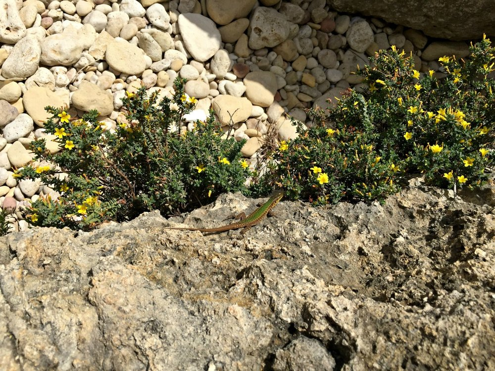 lizard animal gozo