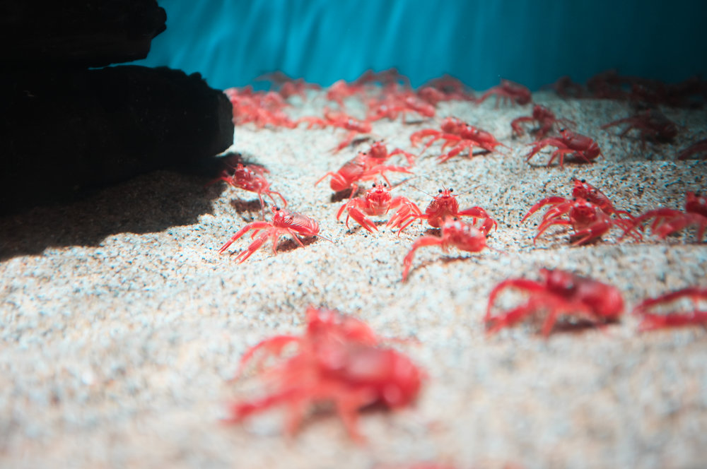 Red Pelagic Crabs- Monterey Bay Aquarium