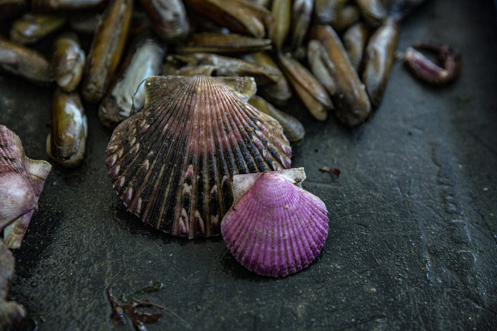A mature and younger scallop side-by-side. Size regulations are one way to ensure that marine species are given enough time to reproduce before they are collected for human consumption.   Ana Sotelo for NESsT