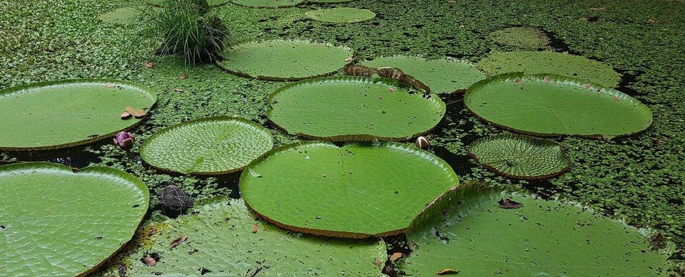 Vitória Regia, típica da Amazônia, em Manaus. Foto: Arquivo NESsT.