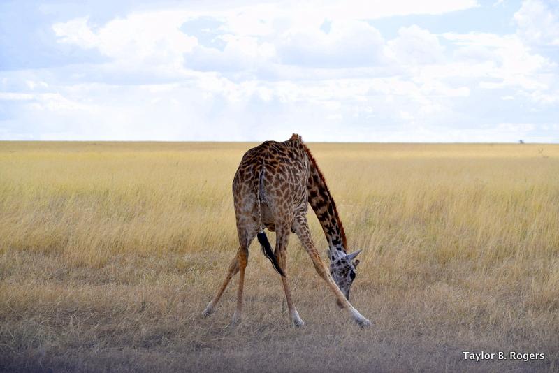 Awkward Giraffe