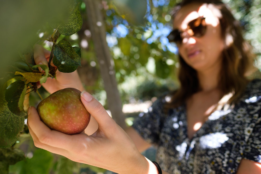 Riley's Ochard offers apple picking of winesap apples from trees that are over a 100 years old in Yucaipa, CA on October 15th, 2017.
