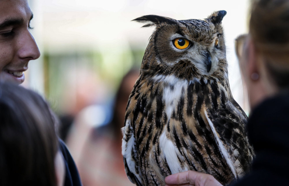 An American Horned Owl welcomes guests to the Los Angeles Nature Fest on Saturday, March 17, 2018. The event was hosted by the National History Muesum at the Univeristy of Southern California, Los Angeles, California. (Corsair Photo/ William Wendelman)