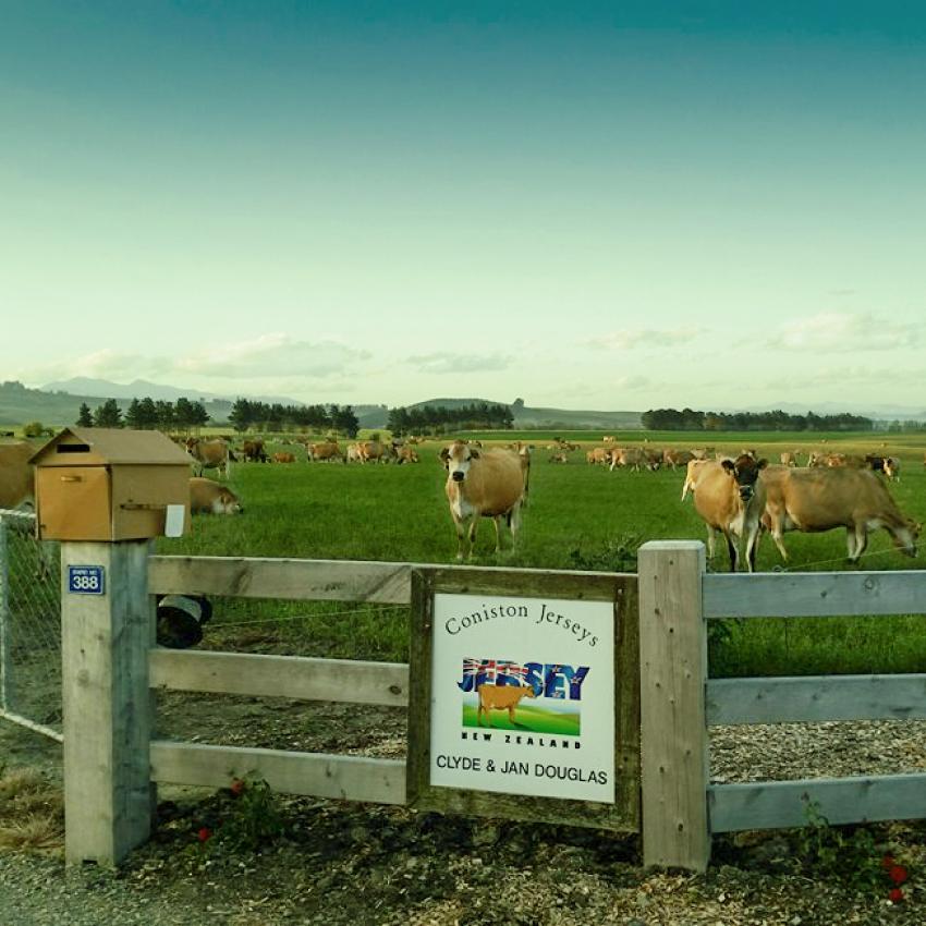 cows testimony.jpg