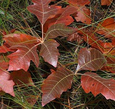 poison-oak.jpg