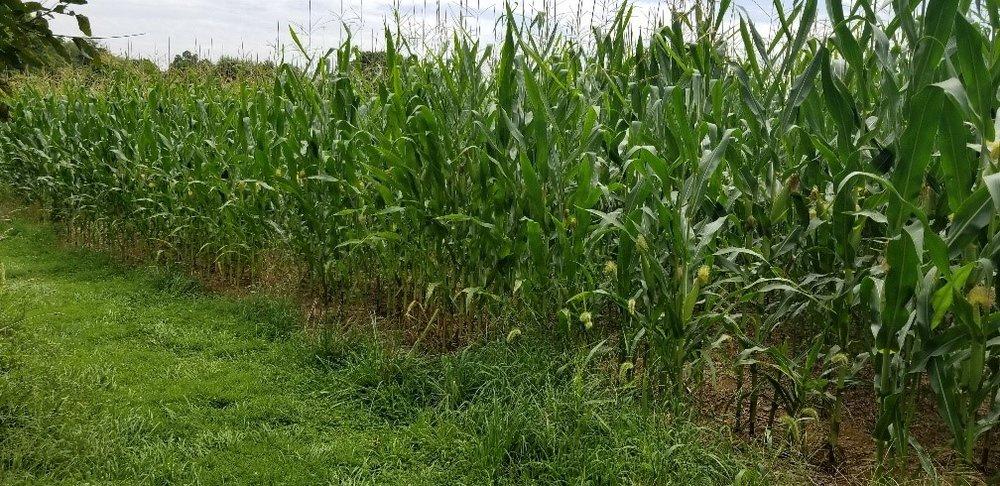 cornfield-trail-4.jpg