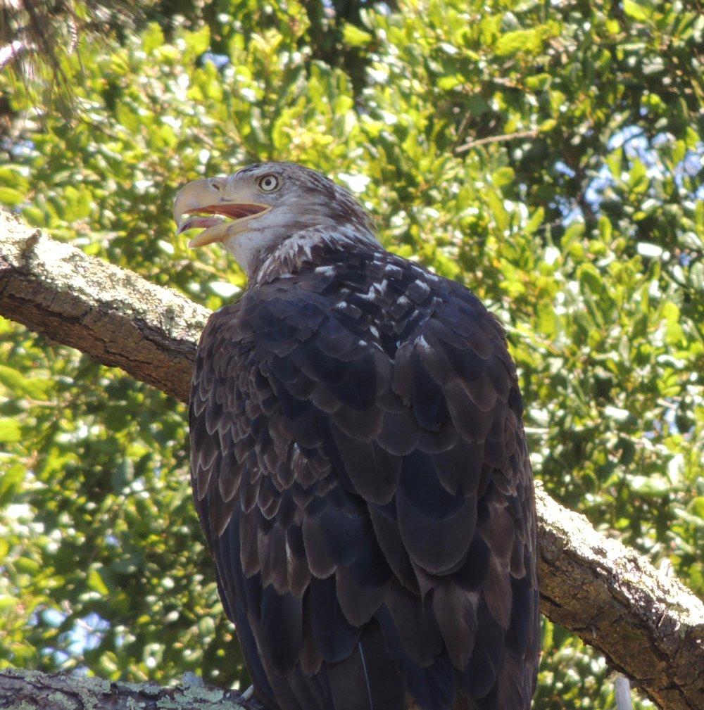 Bald eagle seen during reservoir clean-up