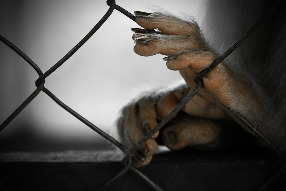 Macaque Feet Caged in Zoo in Borneo.jpg