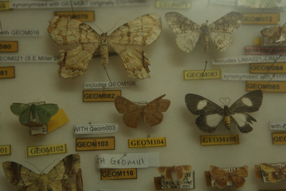 A display case showing the rich diversity of butterflies found in the Madang area at The New Guinea Binatang Research Centre, Papua New Guinea.