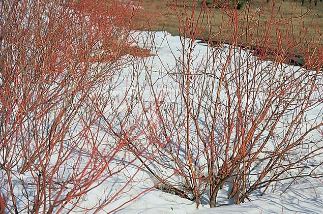 Red-osier dogwood's distinctive red branches in winter. Photo by USDA