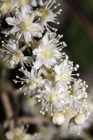Bubbly stem of Oceanspray's delicate creamy flowers by  Walter Siegmund