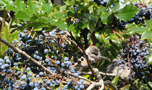 Birds on oregon grape by  Jessie Hey .