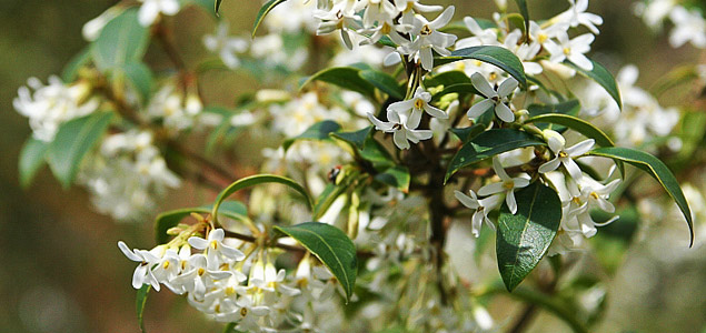 Osmanthus xburkwoodii by  Andrew Fogg .