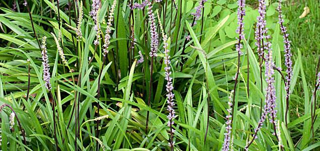 Liriope muscari floraison by  Denis Prevot .
