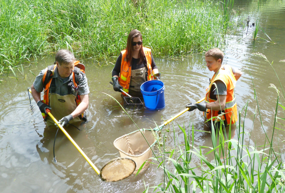 Biologists removing fish by electrofishing in Washington for a construction project (The Watershed Company).