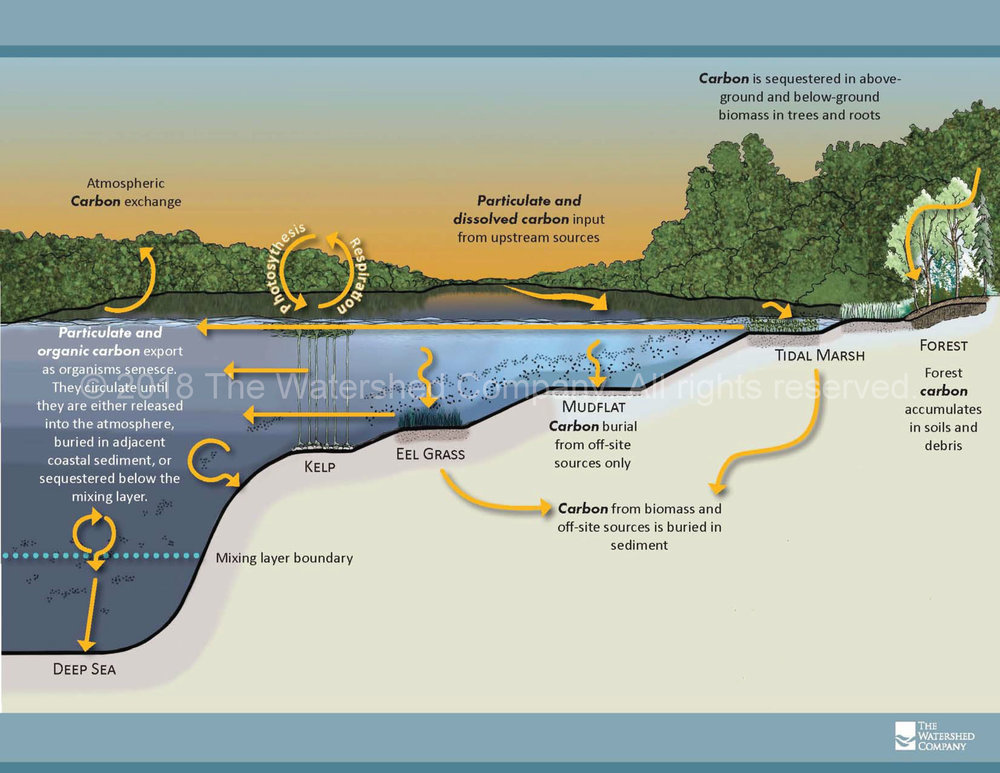 Understanding Blue Carbon.   How carbon is exchanged and sequestered in aquatic and riparian habitats.