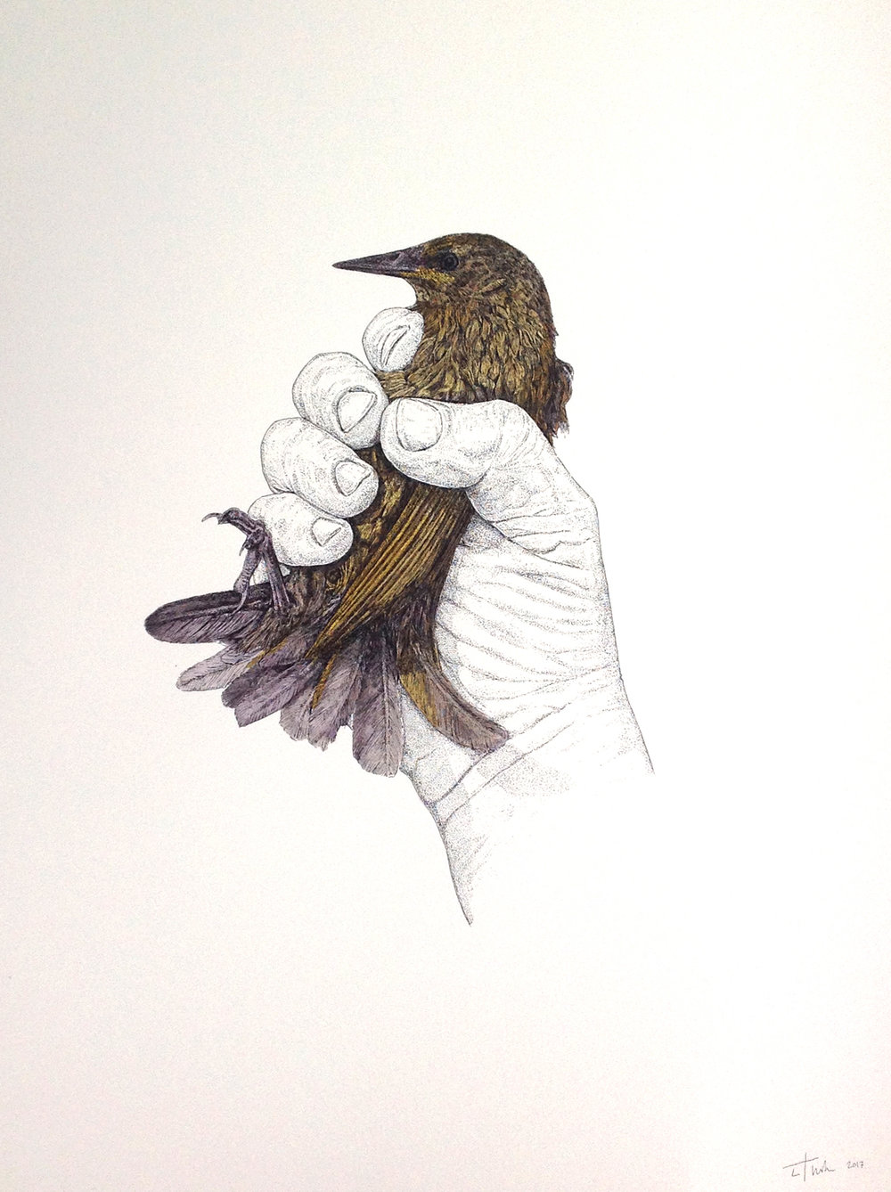 STARLING, 2017 PEN & INK ON SANDERS WATERFORD CARTRIDGE PAPER 300X400mm