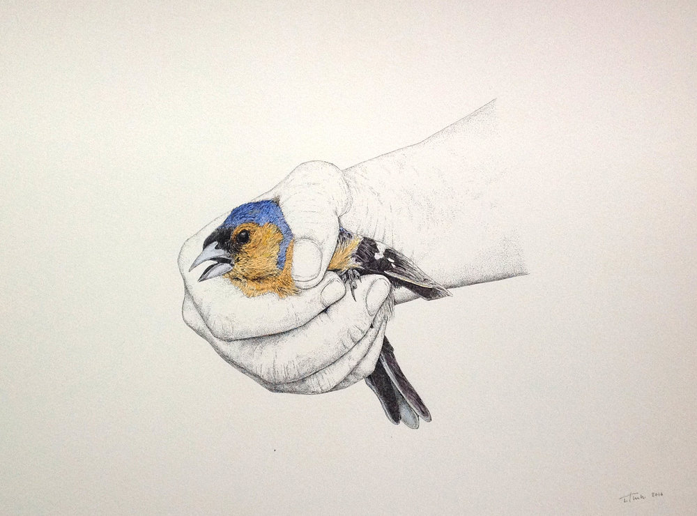 GOLDFINCH,  2016 PEN & INK ON SANDERS WATERFORD CARTRIDGE PAPER 300X400mm