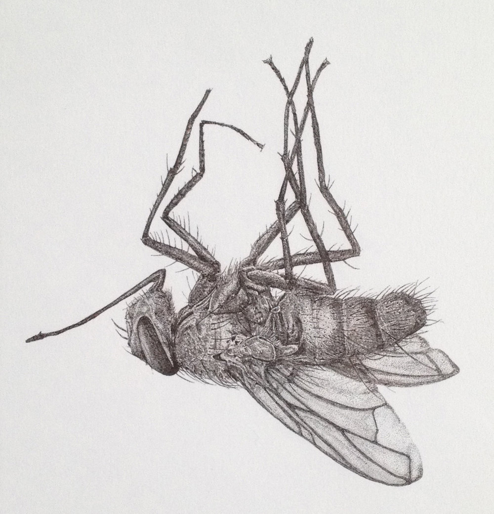'DEAD FLY'  2013 PEN ON PAPER 180X250mm