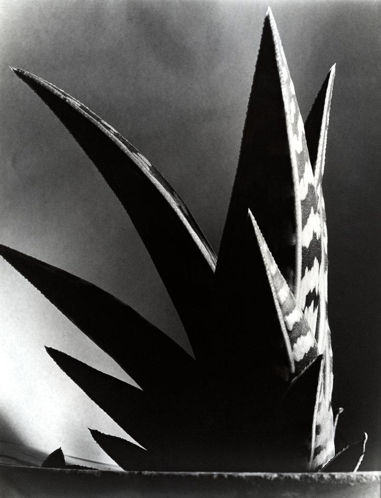 Aloe , 1925