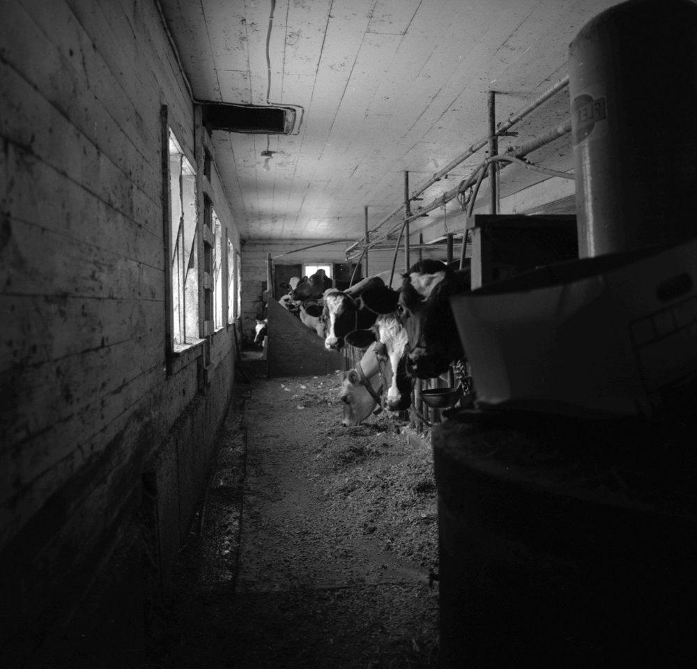 Hamilton Farm Cows