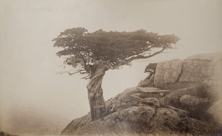 Umbrella tree at Smith's Point (second view) Photograph by Marian Hooper Adams, 1883.