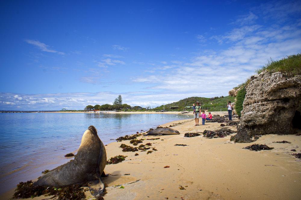 Penguin island Western Australia