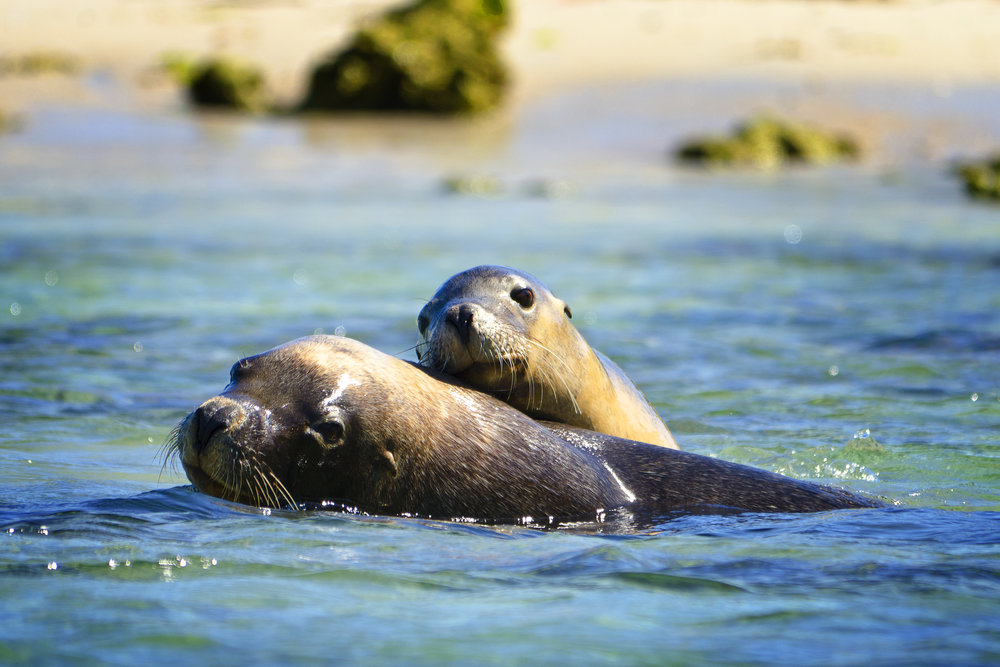 sea lions australia
