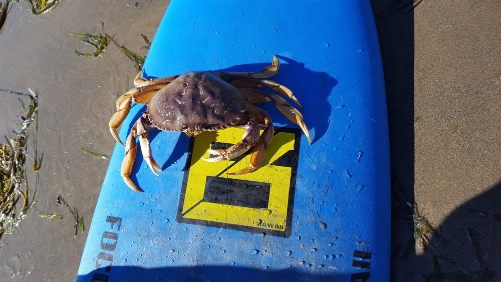 Dungeness. Chip caught (then released) a crab while surfing!