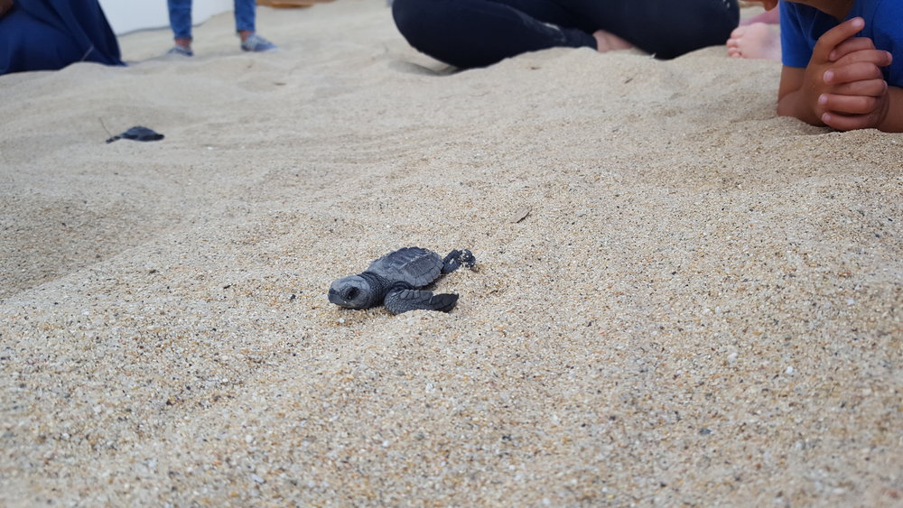 Here goes the baby turtle - instinctively making his way towards the crashing waves