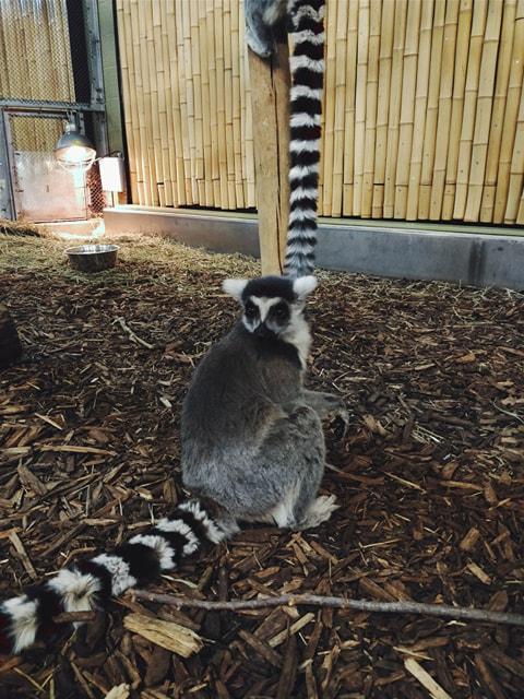 Lemur on the Ground.jpg