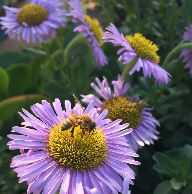 On a winter's day a lone bee finds herself in a patch of native seaside daisies. (Erigeron glaucus)  #2018mood #hope #wednesdaywisdom #nature #beestrong #bees #pollinators #garden #gardening #beach #southbay #beachlife #sustainablegardening #manhattanbeach #redondobeach #hermosabeach #erigeron #nativeplant #flowers #flower #gardenmagiccompany #landscapedesign #gardendesign #beesknees