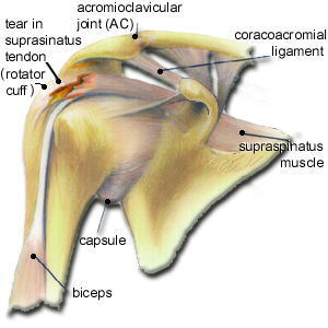 shoulder-structure3.jpg