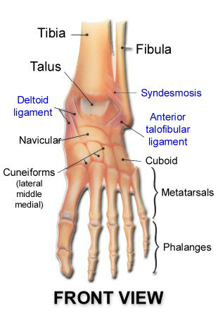 ankle-structure-front.jpg