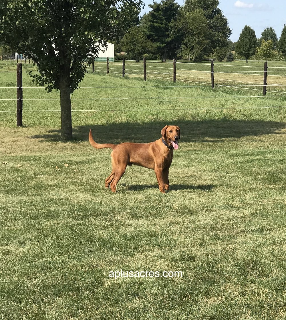 IMG_5236.JPG fox red lab benny.JPG