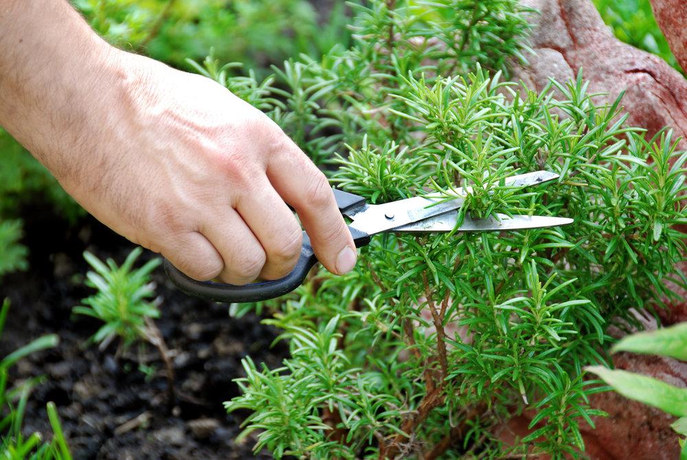A Landscaper's Tips for a Backyard Herb Garden in Lexington, MA